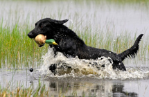 retriever training grounds