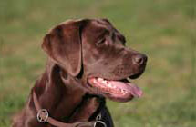 labrador-retrievers-for-sale2