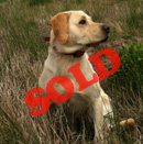 maggie-trained-labrador-retriever-for-sale